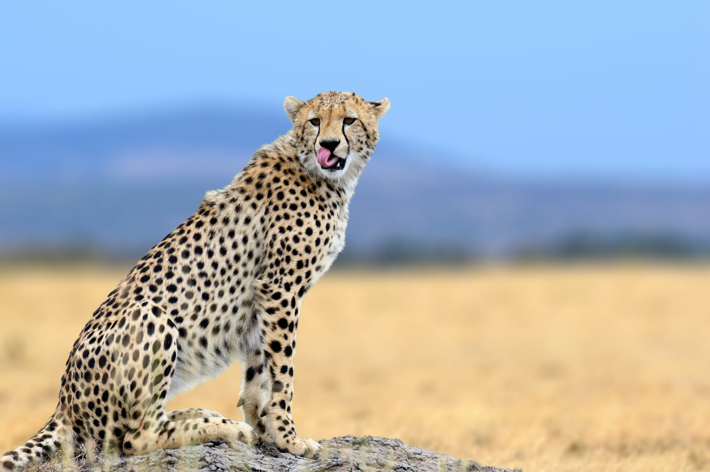 African cheetah, Masai Mara National Park, Kenya, Africa. Cat in nature habitat. Greeting of cats