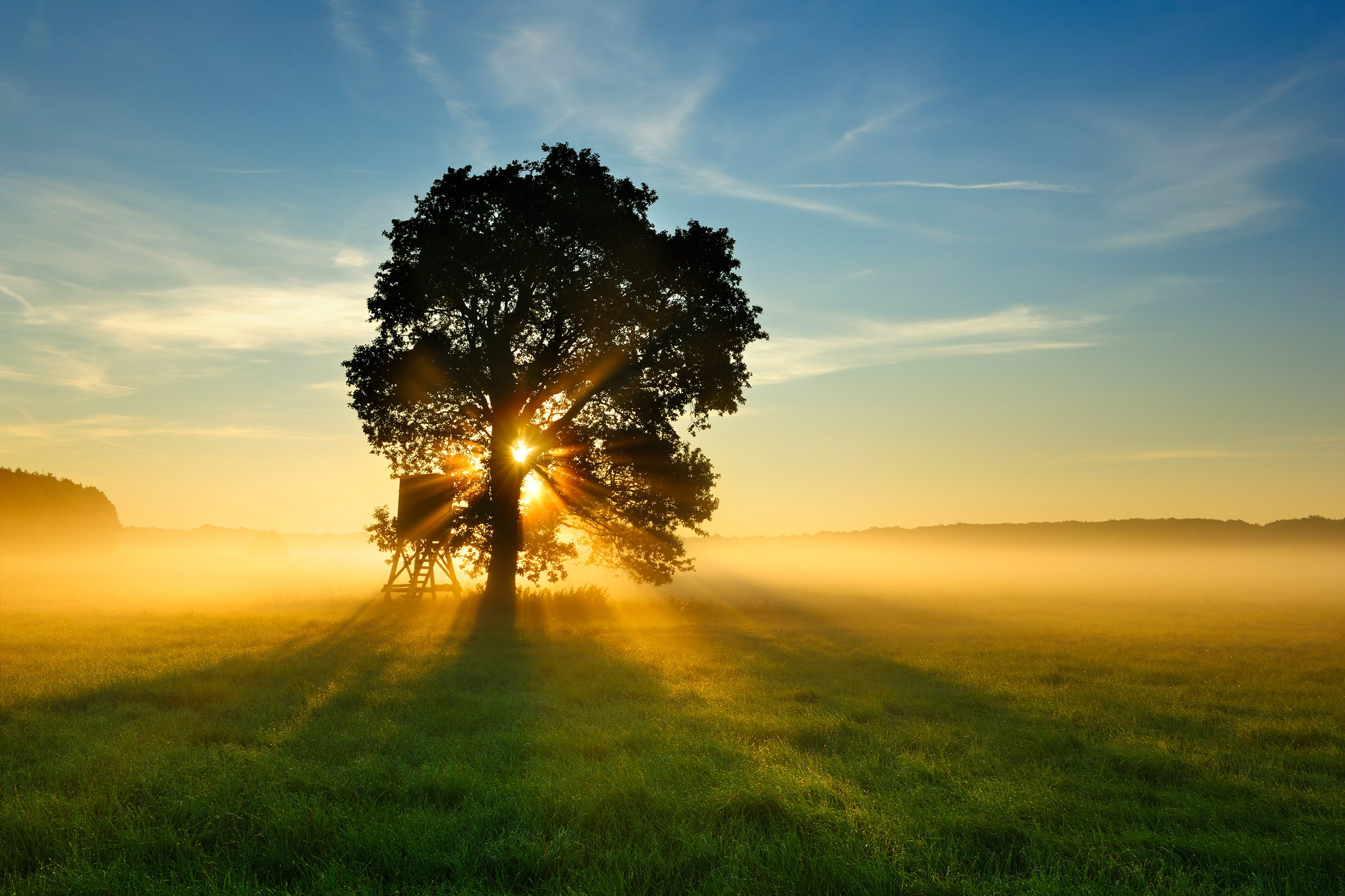 Oak Tree in Meadow at Sunrise, Sunbeams breaking through Morning