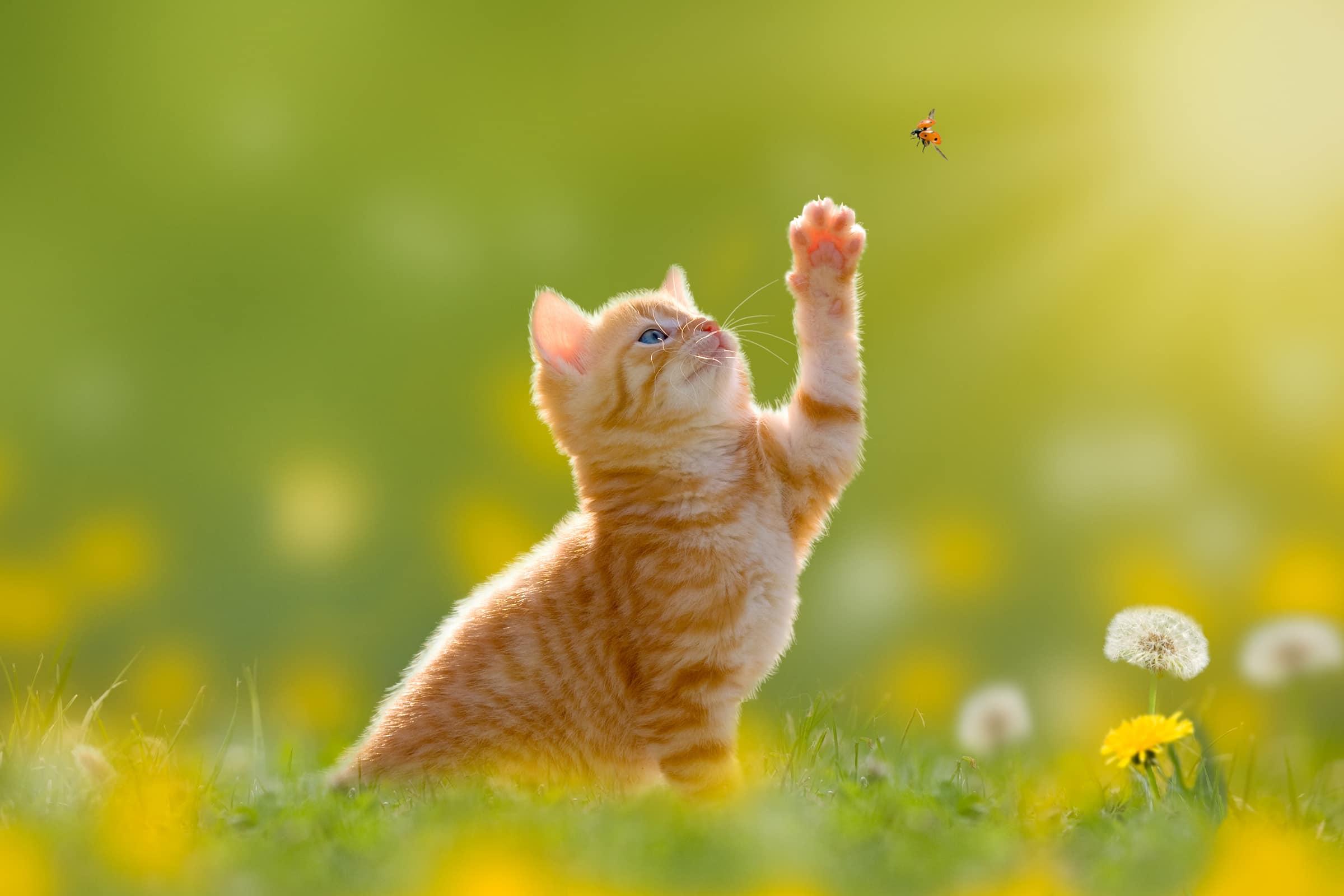 Junge Katze/Kätzchen jagd einen Marienkäfer im Gegenlicht